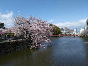 小田原城桜