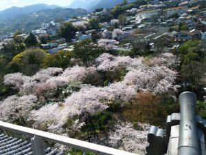 小田原城桜4