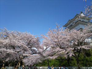 小田原城桜5