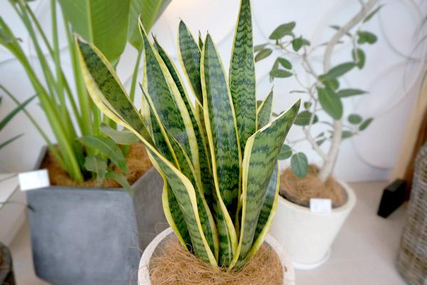 「葉が上向きに生えた植物」はやる気スイッチをオンにする!?